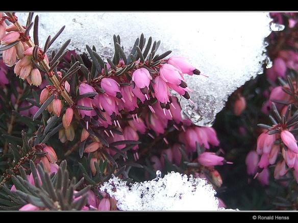 Schnee-Heide